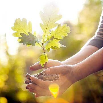 oak-sapling